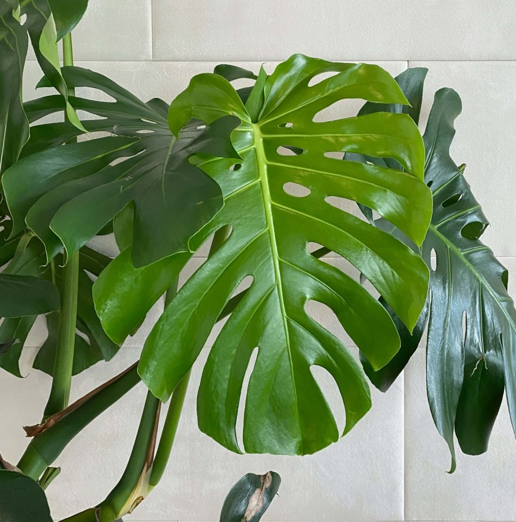 swiss cheese plant for your room